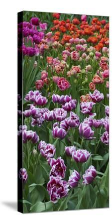 Multi Color Tulip Flowerbeds-Anna Miller-Stretched Canvas Print