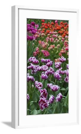 Multi Color Tulip Flowerbeds-Anna Miller-Framed Photographic Print