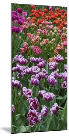 Multi Color Tulip Flowerbeds-Anna Miller-Mounted Photographic Print
