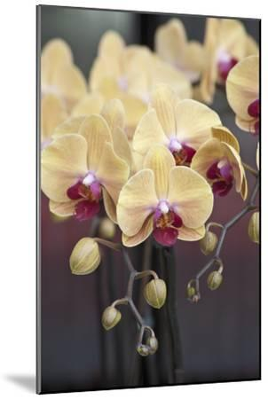 Peach Orchid Blooms-Anna Miller-Mounted Photographic Print