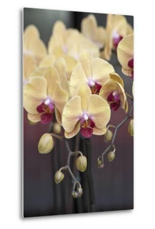 Peach Orchid Blooms-Anna Miller-Metal Print