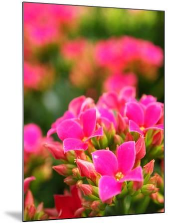 Pink Flowers-Anna Miller-Mounted Photographic Print