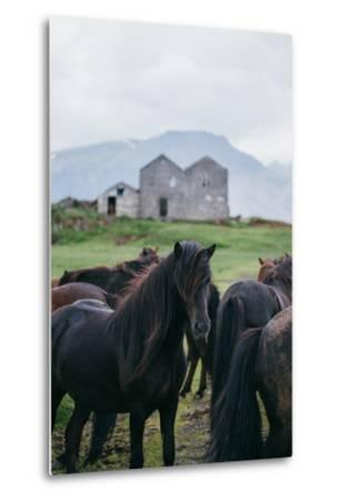 Beautiful Icelandic Horses, Southern Countryside Iceland-Vincent James-Metal Print
