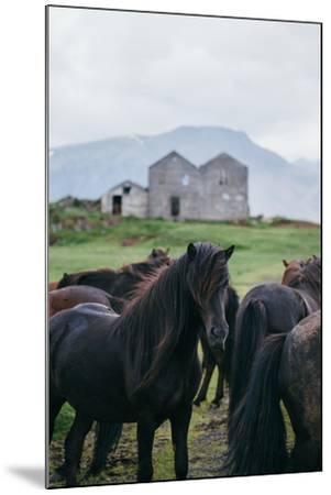 Beautiful Icelandic Horses, Southern Countryside Iceland-Vincent James-Mounted Photographic Print