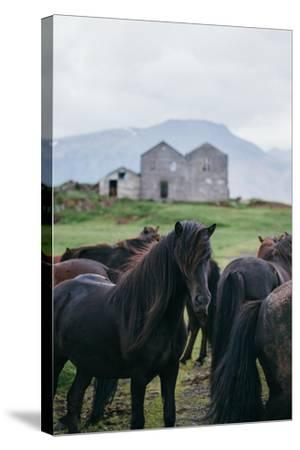 Beautiful Icelandic Horses, Southern Countryside Iceland-Vincent James-Stretched Canvas Print