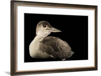 A Common Loon, Gavia Immer, at International Bird Rescue-Joel Sartore-Framed Photographic Print