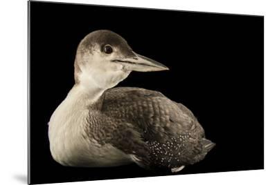 A Common Loon, Gavia Immer, at International Bird Rescue-Joel Sartore-Mounted Photographic Print