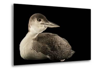 A Common Loon, Gavia Immer, at International Bird Rescue-Joel Sartore-Metal Print