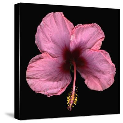 Pink Hibiscus Flower Isolated on Black Background-Christian Slanec-Stretched Canvas Print