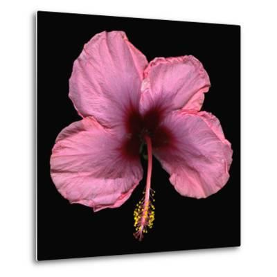 Pink Hibiscus Flower Isolated on Black Background-Christian Slanec-Metal Print