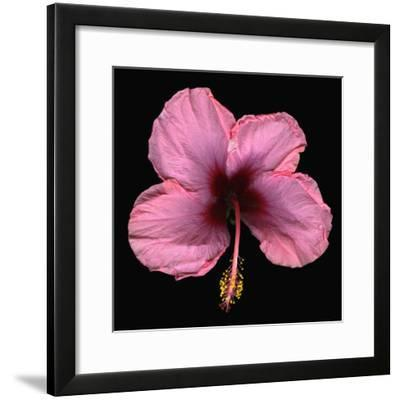Pink Hibiscus Flower Isolated on Black Background-Christian Slanec-Framed Photographic Print