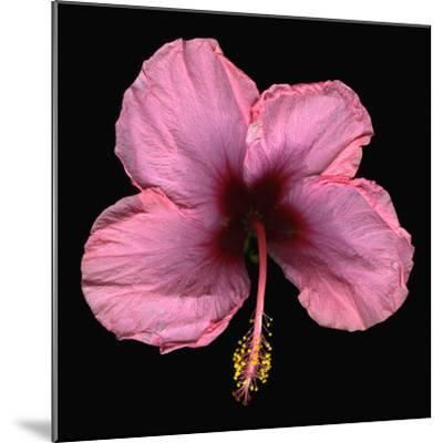 Pink Hibiscus Flower Isolated on Black Background-Christian Slanec-Mounted Photographic Print
