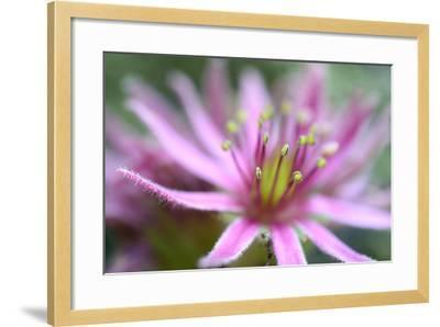 Macro Sempervivum Montanum-Christian Platzer-Framed Photographic Print