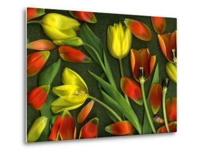 Medley of Colorful Tulips Isolated-Christian Slanec-Metal Print