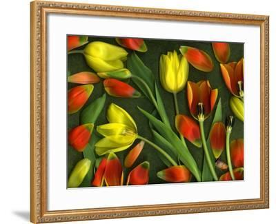 Medley of Colorful Tulips Isolated-Christian Slanec-Framed Photographic Print