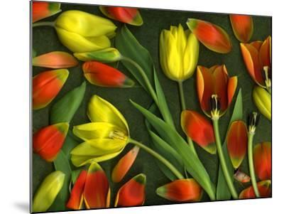 Medley of Colorful Tulips Isolated-Christian Slanec-Mounted Photographic Print