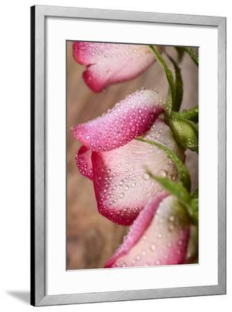 Three White and Pink Rose with Water Drops on Wood-Carlo Amodeo-Framed Photographic Print