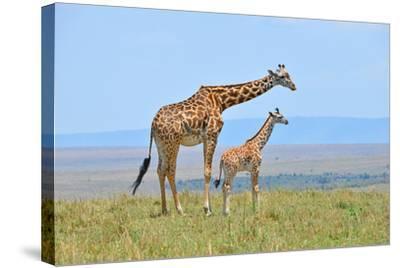Masai Mara Giraffe-Jim Varley Photography-Stretched Canvas Print
