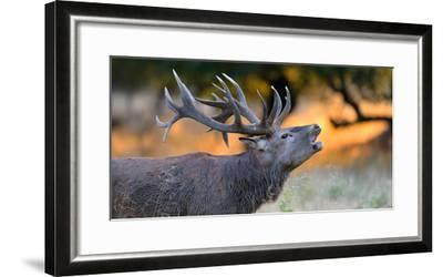 Red Deer (Cervus Elaphus), Portraet of an Imposing Roaring Stag in Morning Light, Denmark- Blickwinkel/Zoller-Framed Photographic Print