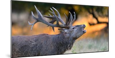 Red Deer (Cervus Elaphus), Portraet of an Imposing Roaring Stag in Morning Light, Denmark- Blickwinkel/Zoller-Mounted Photographic Print