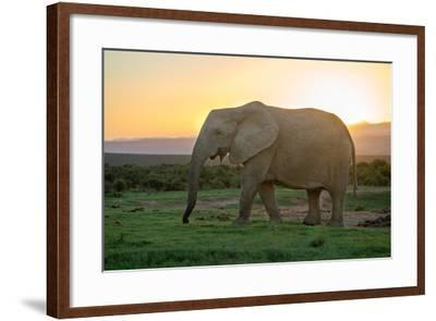 Elephant Travels in Sunset, South Africa, Addo Elephant Park-Stefan Oberhauser-Framed Photographic Print