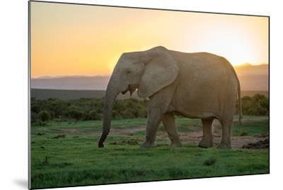 Elephant Travels in Sunset, South Africa, Addo Elephant Park-Stefan Oberhauser-Mounted Photographic Print