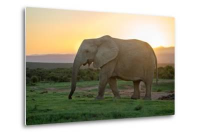Elephant Travels in Sunset, South Africa, Addo Elephant Park-Stefan Oberhauser-Metal Print