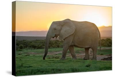 Elephant Travels in Sunset, South Africa, Addo Elephant Park-Stefan Oberhauser-Stretched Canvas Print
