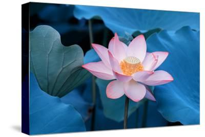 Lotus Flower-Wu Kailiang-Stretched Canvas Print