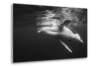 Humpback Whale Calf Playing on the Surface, Tonga-Wildestanimal-Metal Print