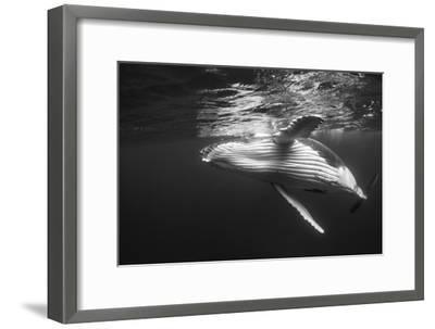 Humpback Whale Calf Playing on the Surface, Tonga-Wildestanimal-Framed Photographic Print