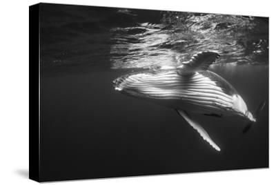 Humpback Whale Calf Playing on the Surface, Tonga-Wildestanimal-Stretched Canvas Print