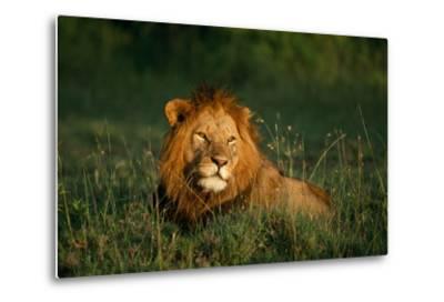 Male Lion Masai Mara National Park Kenya-Mike Hill-Metal Print