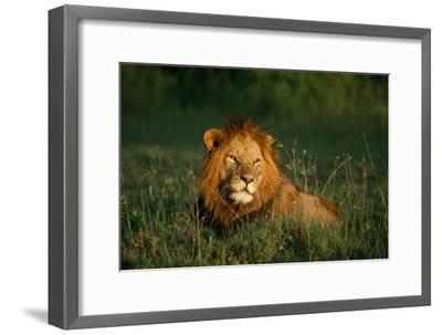 Male Lion Masai Mara National Park Kenya-Mike Hill-Framed Photographic Print