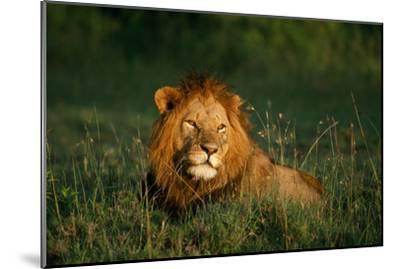 Male Lion Masai Mara National Park Kenya-Mike Hill-Mounted Photographic Print