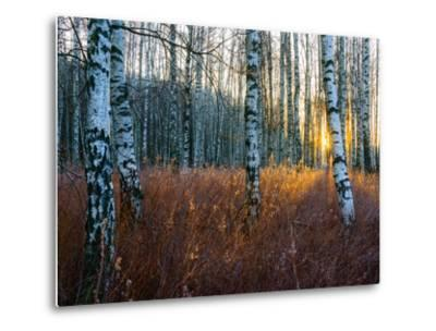 Close-Up of Birch Tree Trunks in Forest-Utterstr?m Photography-Metal Print