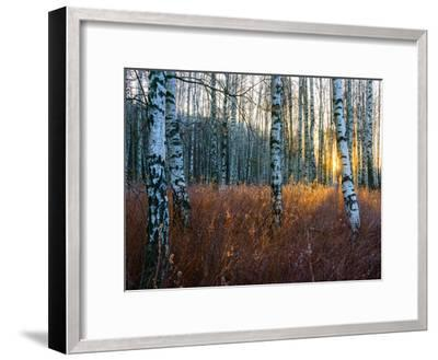 Close-Up of Birch Tree Trunks in Forest-Utterstr?m Photography-Framed Photographic Print