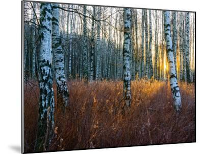 Close-Up of Birch Tree Trunks in Forest-Utterstr?m Photography-Mounted Photographic Print