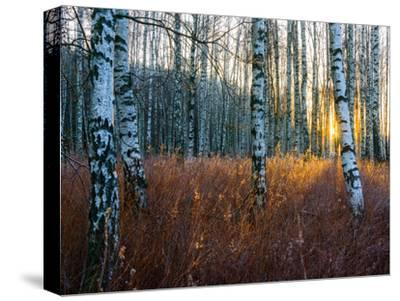 Close-Up of Birch Tree Trunks in Forest-Utterstr?m Photography-Stretched Canvas Print