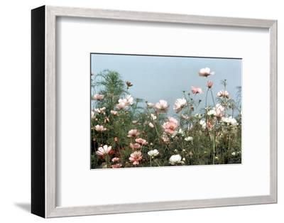 Cosmos Flowers at Beetlebung Corner, Martha's Vineyard, Massachusetts 1960S-Alfred Eisenstaedt-Framed Photographic Print