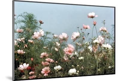 Cosmos Flowers at Beetlebung Corner, Martha's Vineyard, Massachusetts 1960S-Alfred Eisenstaedt-Mounted Photographic Print