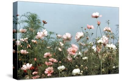 Cosmos Flowers at Beetlebung Corner, Martha's Vineyard, Massachusetts 1960S-Alfred Eisenstaedt-Stretched Canvas Print