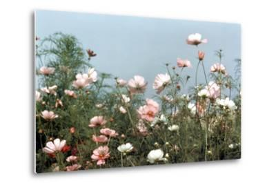 Cosmos Flowers at Beetlebung Corner, Martha's Vineyard, Massachusetts 1960S-Alfred Eisenstaedt-Metal Print