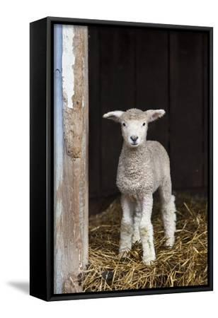 A Baby Romney Lamb Stands in a Barn On Some Hay-Karine Aigner-Framed Stretched Canvas Print
