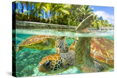 Close Up of Green Sea Turtles While Swimming with Them at the Le Meridien Resort-Mike Theiss-Framed Stretched Canvas Print