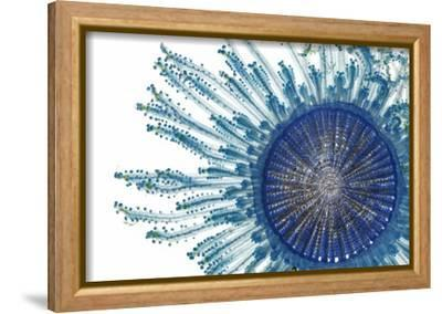 The Pigment of a Blue Button Jellyfish Blocks Ultraviolet Rays-David Liittschwager-Framed Stretched Canvas Print