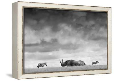 A White Rhino Lies in the Grass As Two Zebras Graze Behind-Robin Moore-Framed Stretched Canvas Print