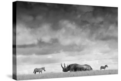 A White Rhino Lies in the Grass As Two Zebras Graze Behind-Robin Moore-Stretched Canvas Print