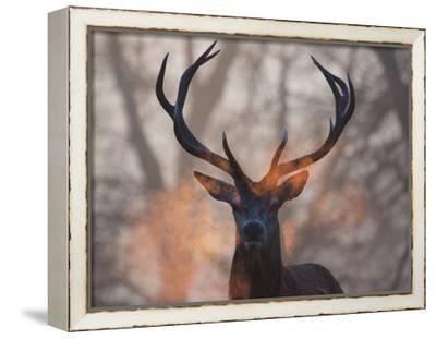 Portrait of a Red Deer Buck, Cervus Elaphus, in Winter-Alex Saberi-Framed Stretched Canvas Print