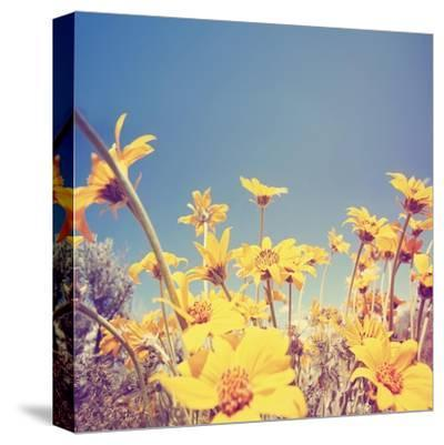 A Bunch of Pretty Balsamroot Flowers Done with a Soft Vintage Instagram like Effect Filter-graphicphoto-Stretched Canvas Print